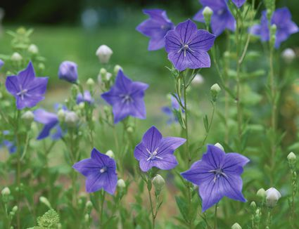 Drought tolerant perennial flowers for dry areas of low maintenance low maintenance perennials zone 6 of drought tolerant perennial flowers for dry areas mightylinksfo