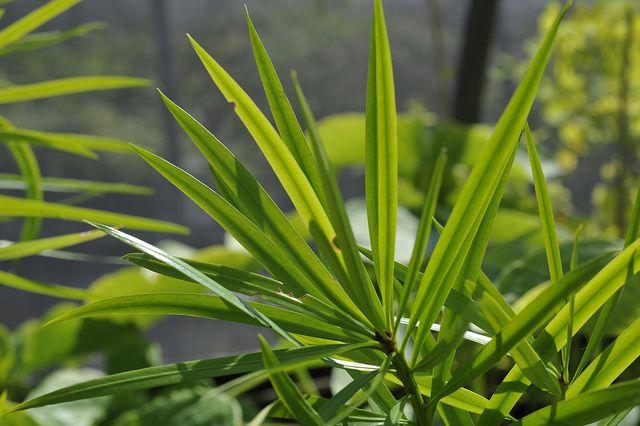 yew pine, podocarpus macrophyllus, plants