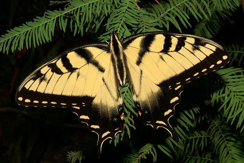 The Eastern Tiger Swallowtail Butterfly
