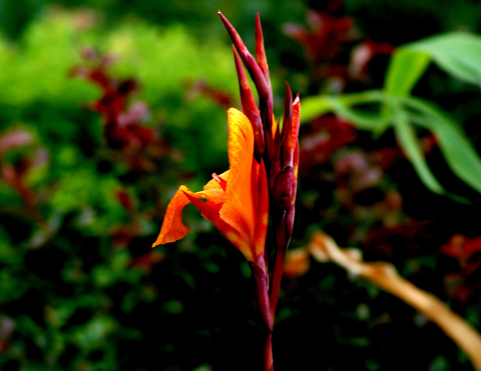 How to Store Canna Bulbs Over the Winter
