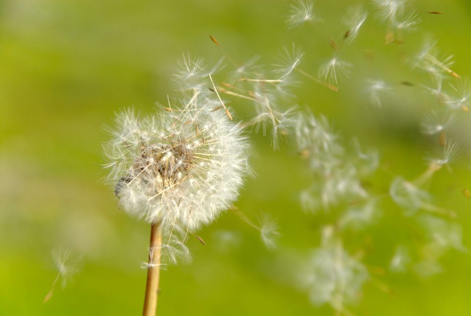 How To Control Dandelions