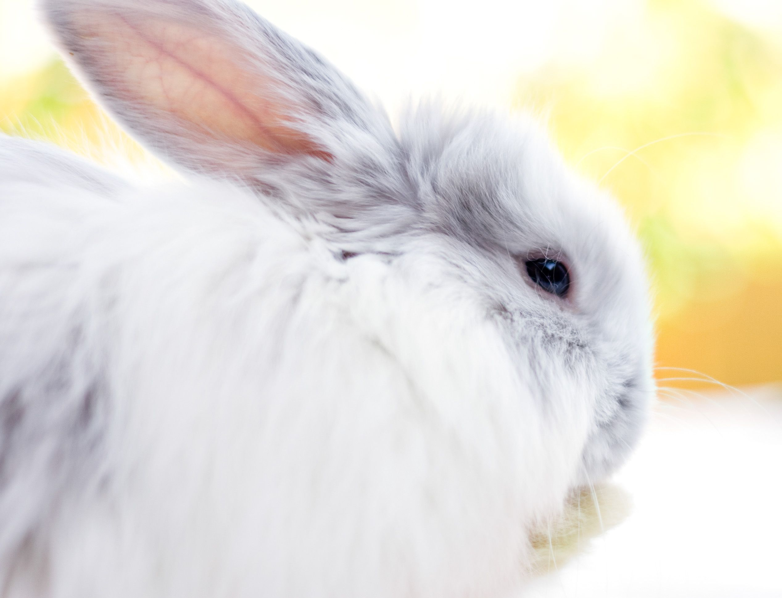 causes of itching or scratching in rabbits