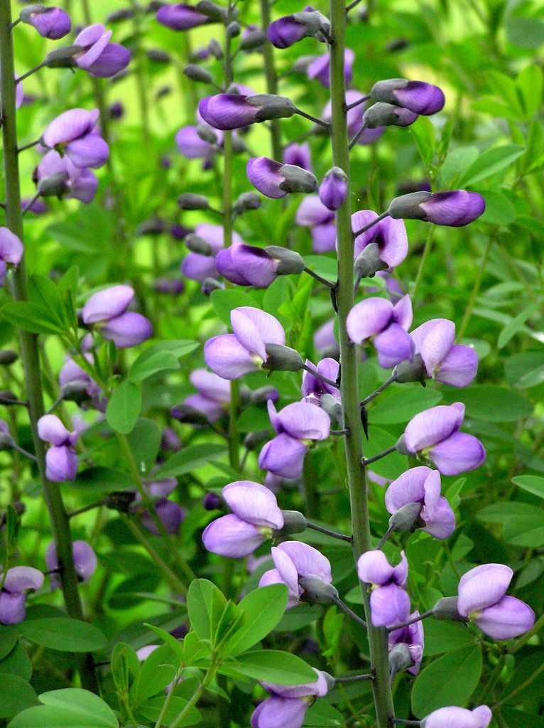 12 low maintenance perennial plants mightylinksfo Choice Image