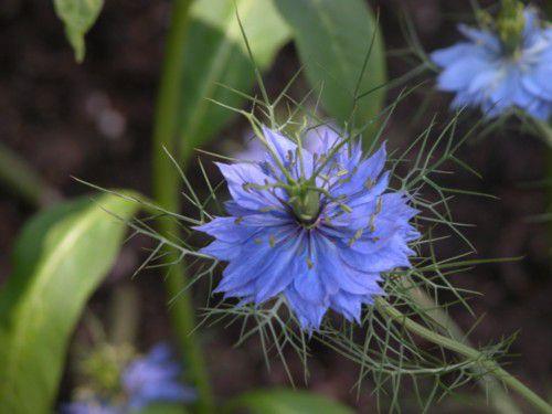 Nigella - Double Flowered Blue