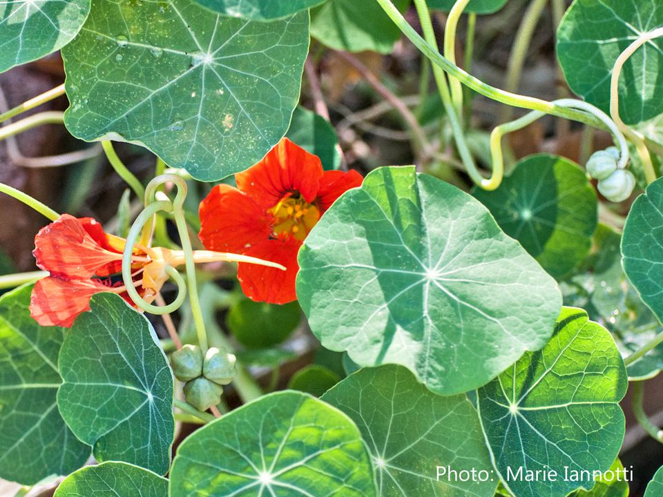 Nasturtium Capers Made From Plant Seeds