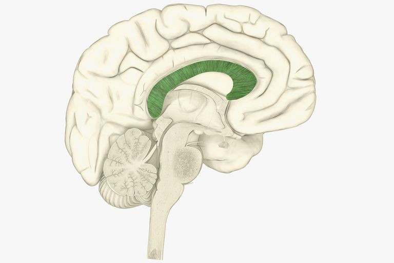 corpus callosum and brain function, Sphenoid