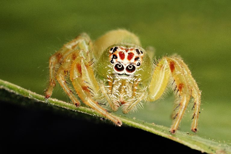 This jumping spider is one of about 77,000 species of chelicerates alive today.