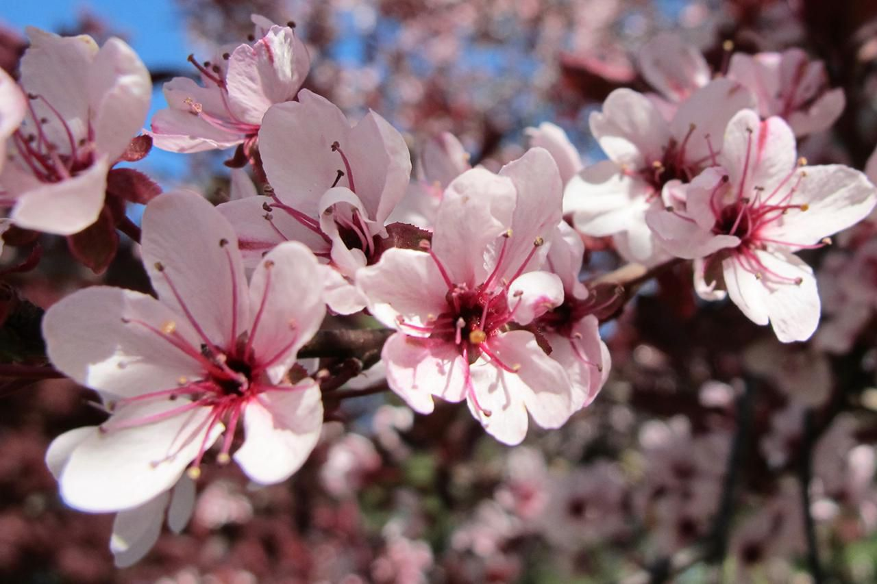 Purple leaf shrub with pink flowers - For A Shrub With Purple Leaves Try The Purple Leaf Sand Cherry