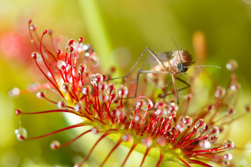 Bug caught in a red sundew plant.