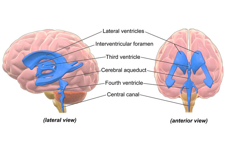 ventricular system of the brain, Human Body