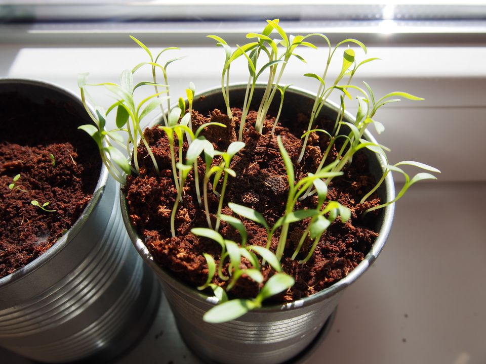 High Angle View Of Potted Seedlings On Window Sill