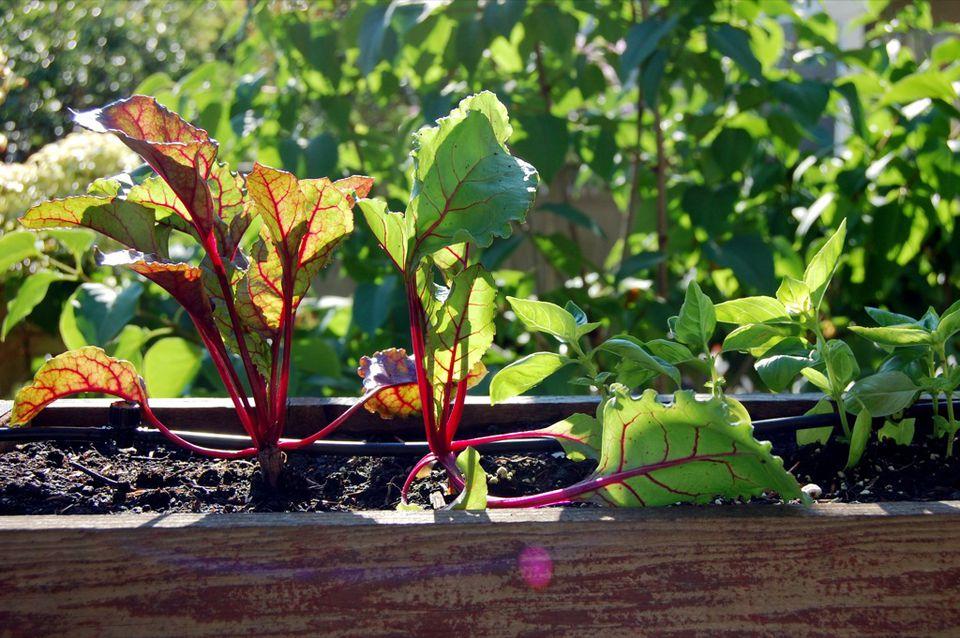 Planting a fall veggie garden