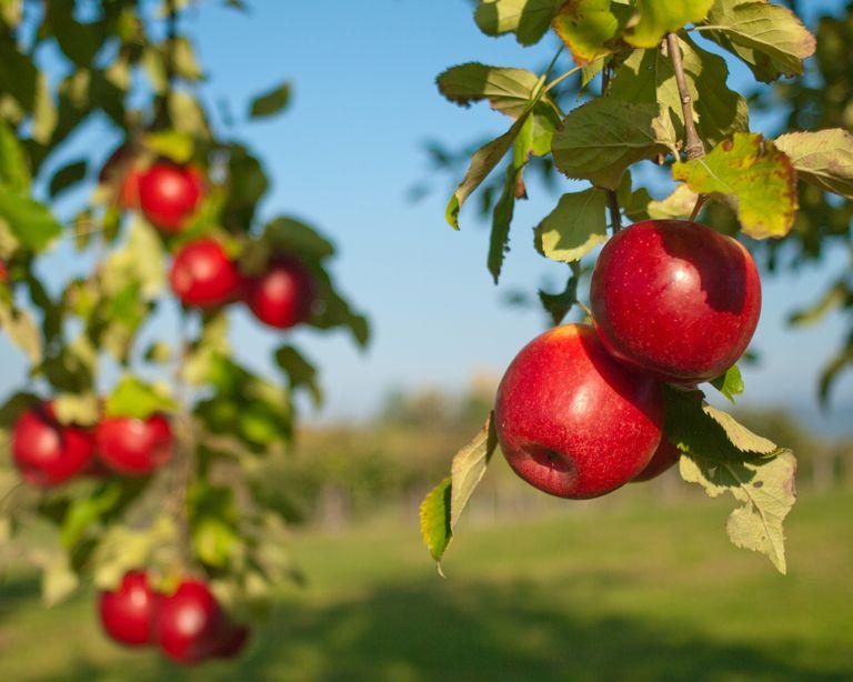Apple Trees in Autumn