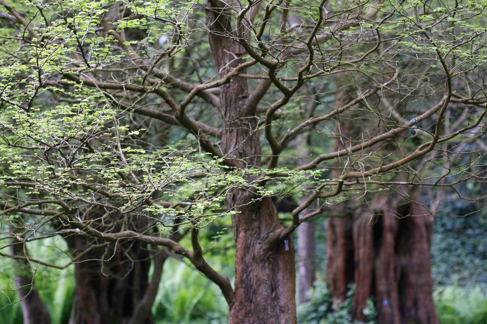 Dawn Redwood (Metasequoia glyptostroboides), March