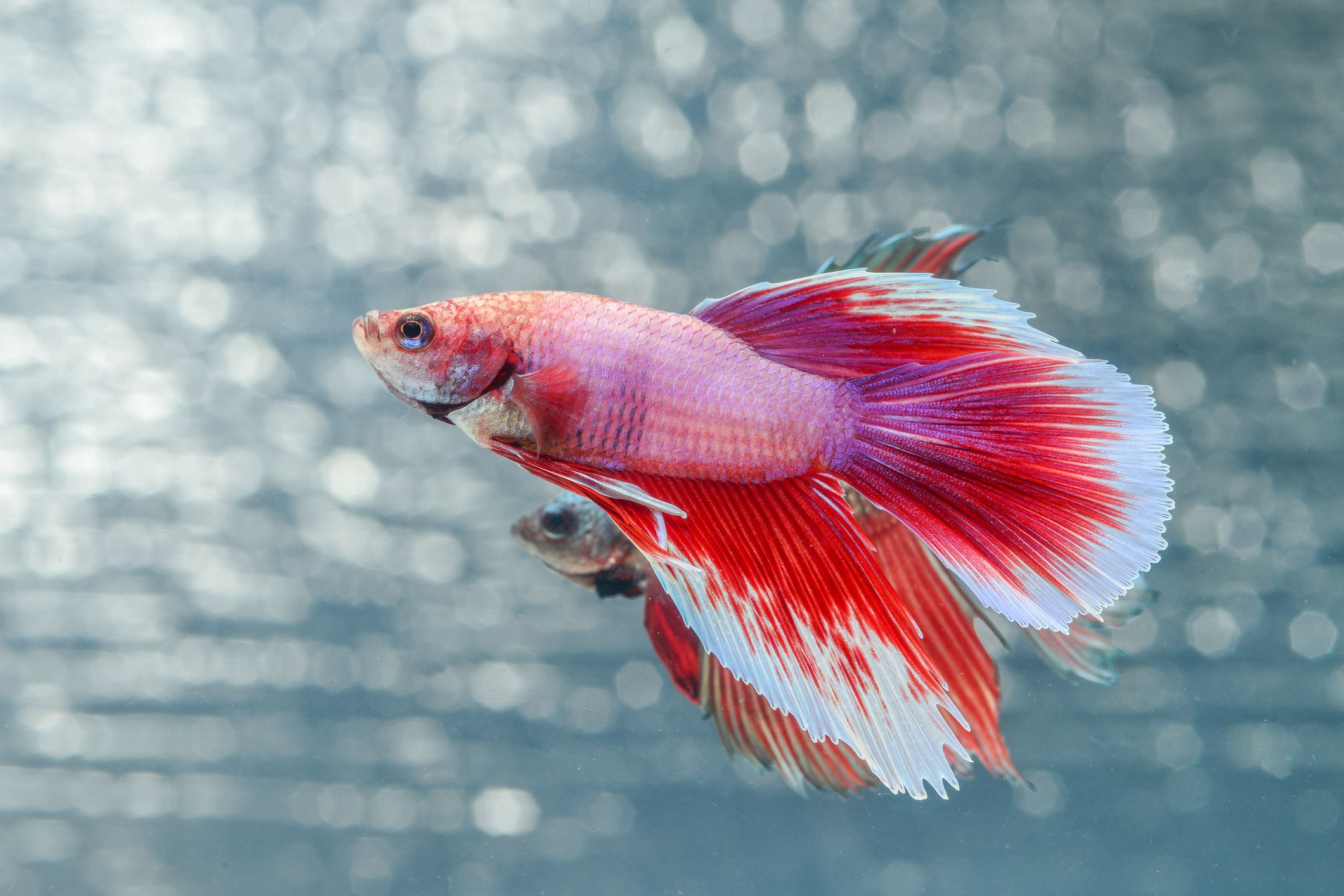 Find out how long betta fish live for Betta fish life expectancy