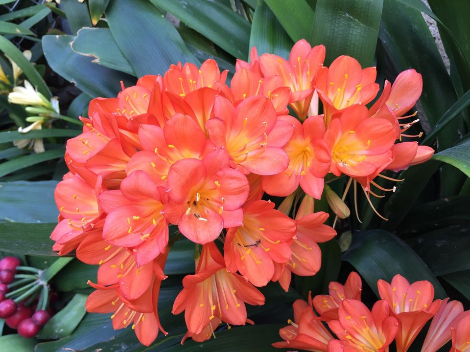 14 tropical flowers you can grow almost anywhere clivia miniata natal lily umbel of orange flowers yellow at center with mightylinksfo