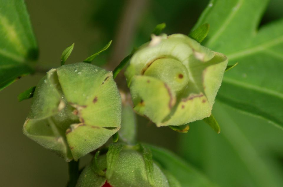 Image of rose of Sharon seed pods.
