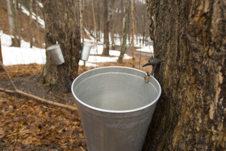 Maple trees tapped for making maple syrup Ile d'Orleans Quebec Canada