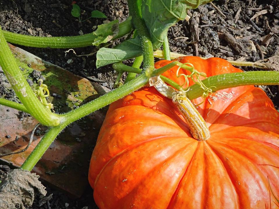 High Angle View Of Pumpkin Growing On Field
