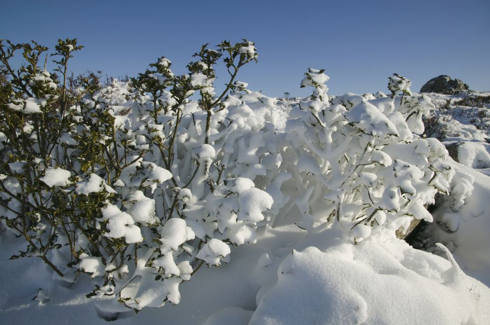 Holly bush covered in snow.