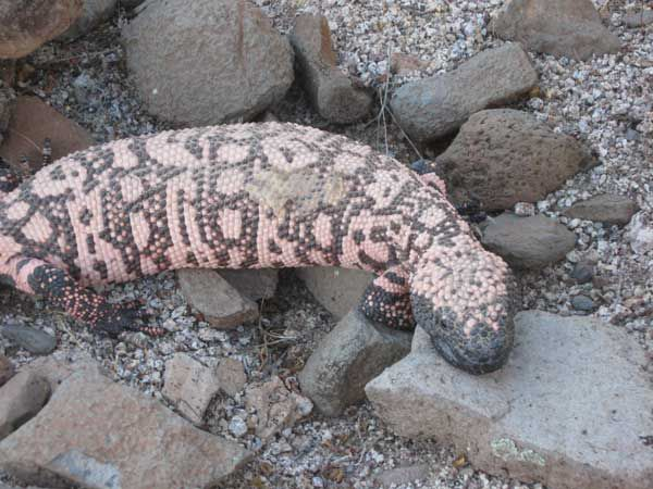 Gila Monster in Wickenburg, Arizona.