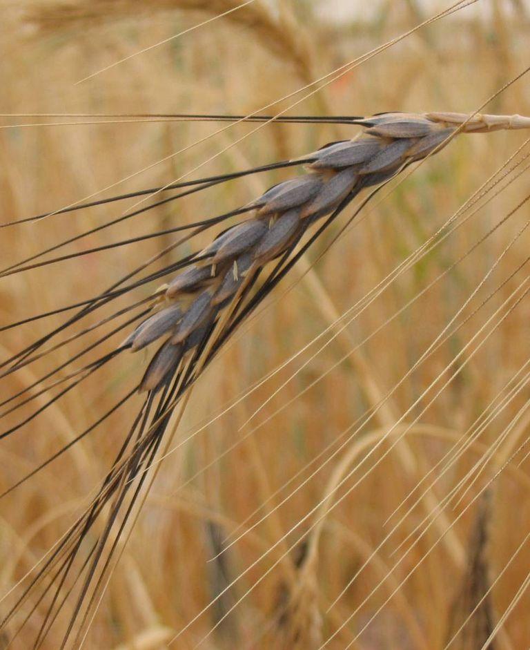 Wild Emmer wheat (Triticum turgidum ssp. dicoccoides)