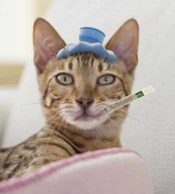 Can Cats Catch A Cough And Cold