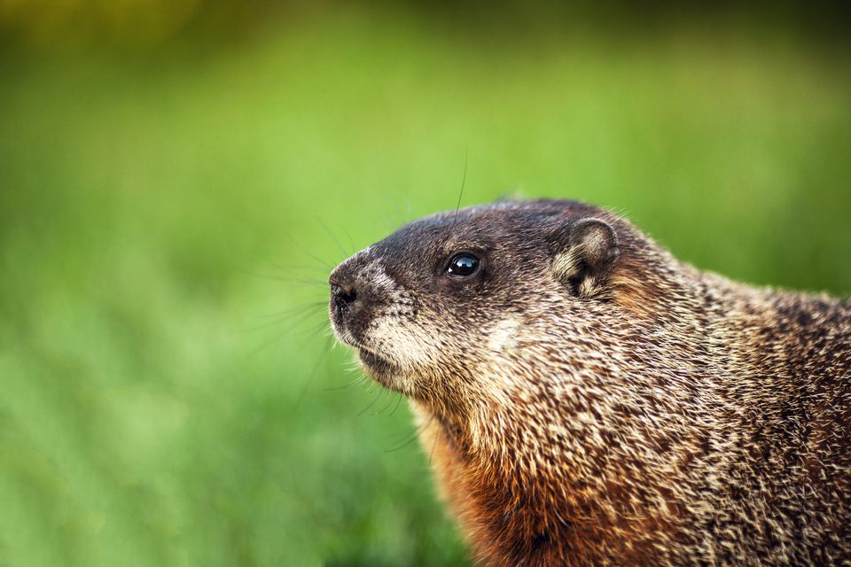 Groundhog in profile, with green grass in the background.