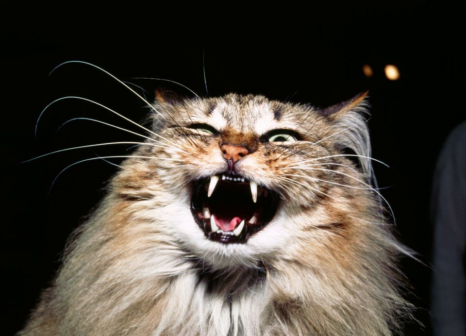 Photo of Angry Cat Hissing