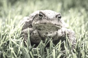 Frog sitting in Gras