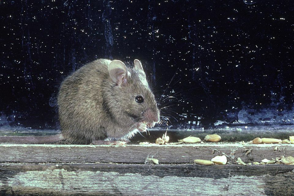 house mouse: mus musculus