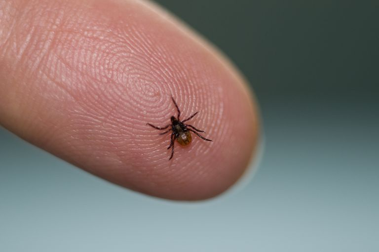 Deer tick, Ixodes scapularis, on a fingertip