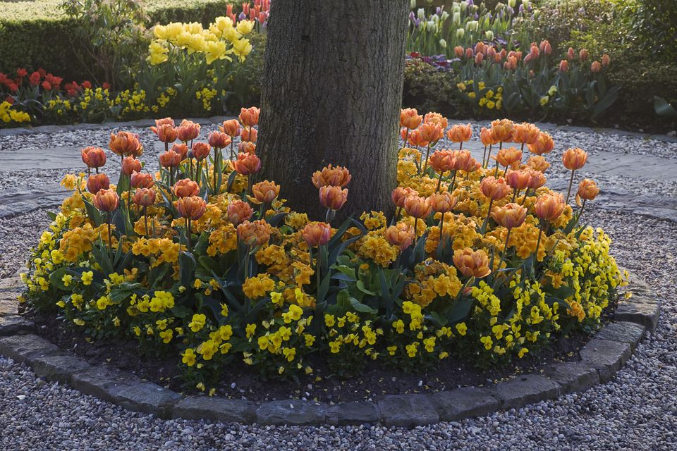 Circular bed planted with tulips (Tulipa), primrose (Primula) and pansies (Viola), Little Larford, Worcestershire, UK