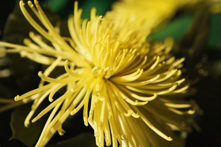 Plantas con flores amarillas para tu suerte - Clases de flores amarillas ...