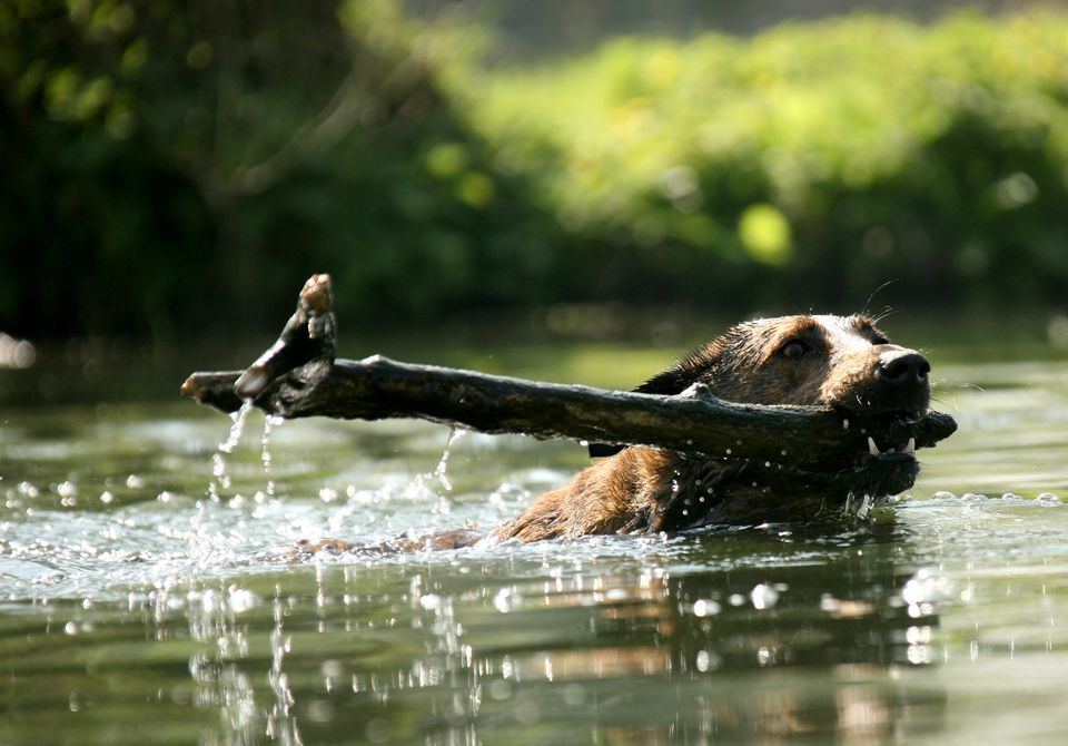 Dog swimming with stick in mouth