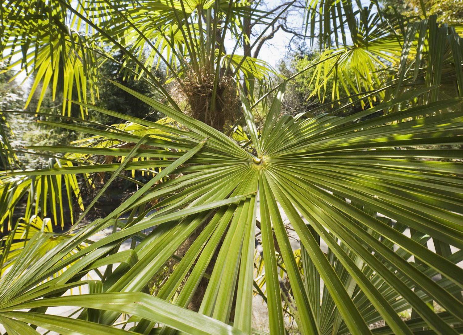 palm trees bring the tropics to your home palmates