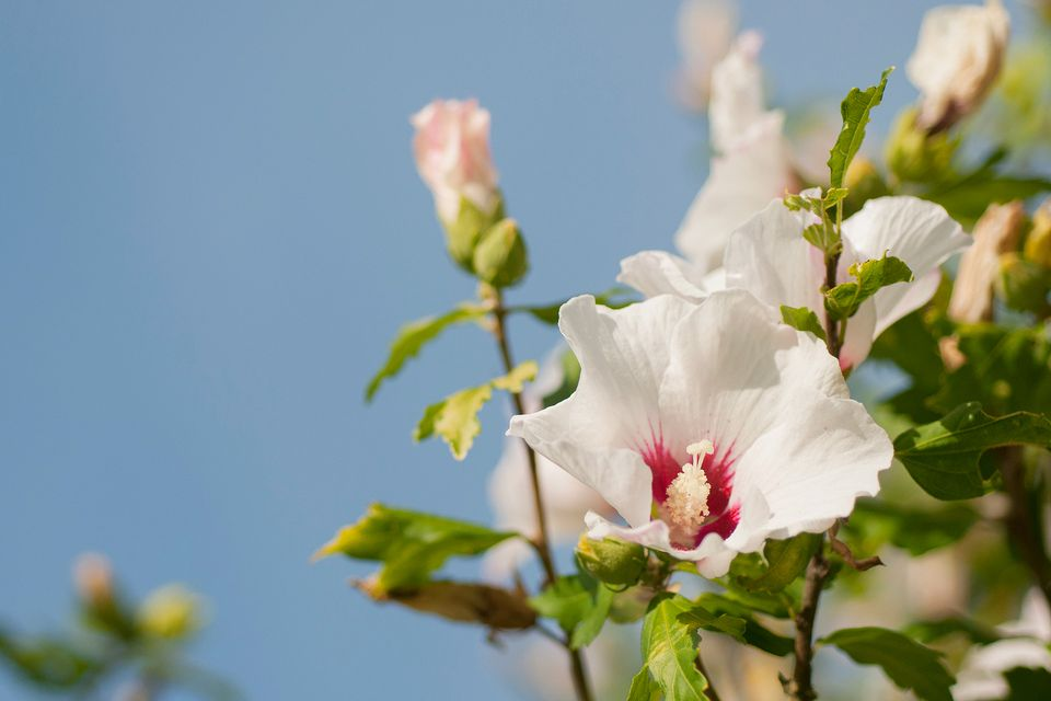 Rose of Sharon Bush Pruning and Growing Tips