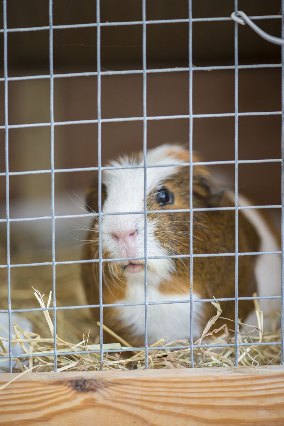 Guinea Pig, male. peering out from wire mesh cage.