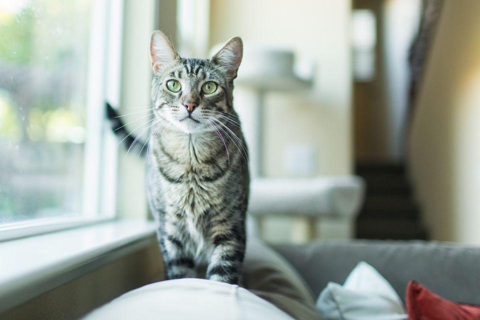 Playful Tabby Cat Indoors