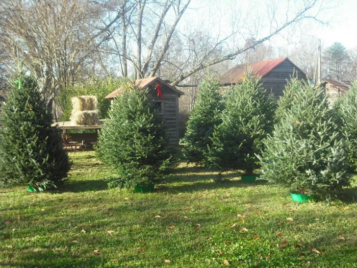 Where to Choose and Cut Your Own Christmas Tree Near Charlotte, NC