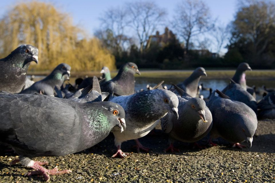 Pest bird pigeons in a park in London, England