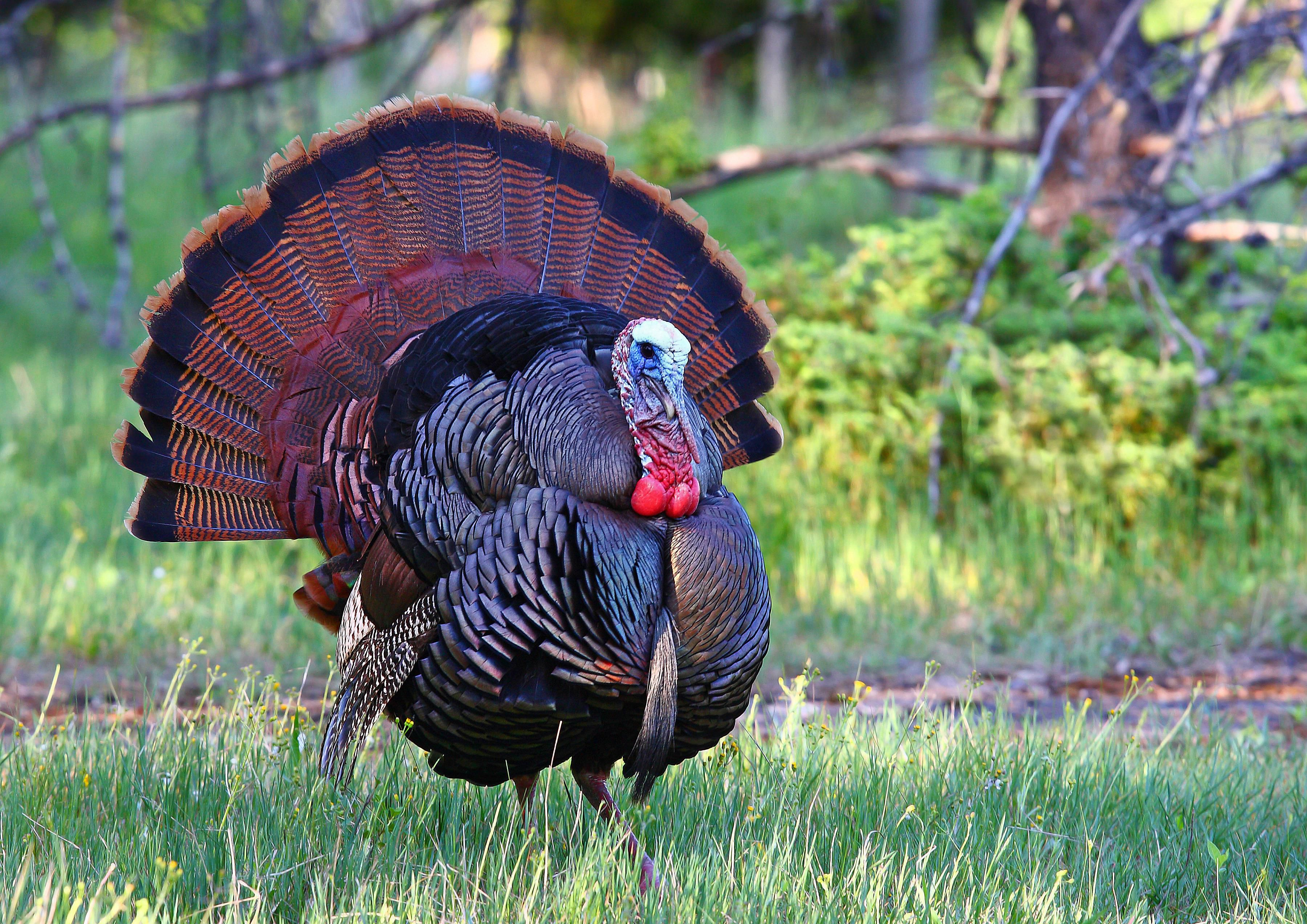 Wild Turkey History And Culture