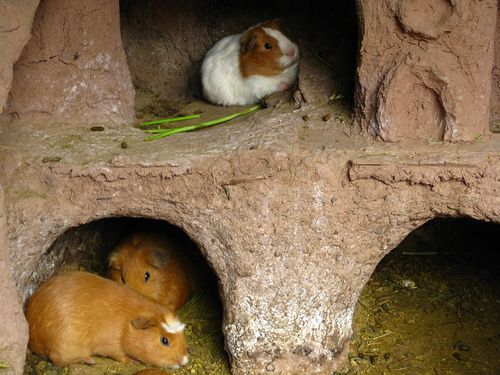 R Guinea Pigs Rodents How and Why Guinea Pig...