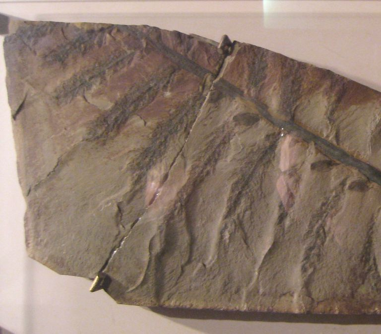 Archaeopteris hibernica fossil specimen in the National Museum of Natural History, Smithsonian Institution, Washington, DC, USA.