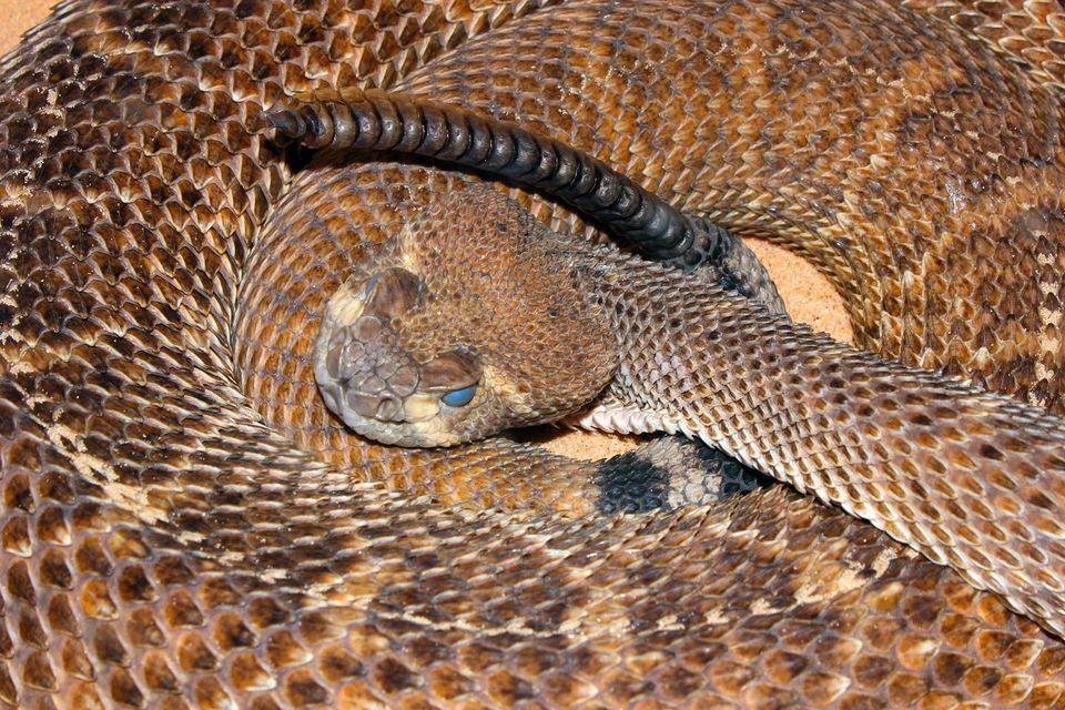 Arizona Rattlesnakes Slithering Around Town
