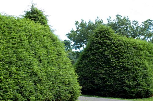 Hemlock shrubs in picture flank a driveway entrance function as privacy  screen.