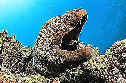 moray eel breathing
