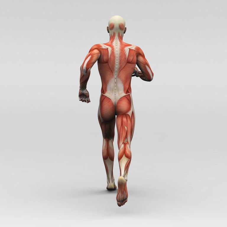 A image of the back of a skeleton covered with muscles walking.