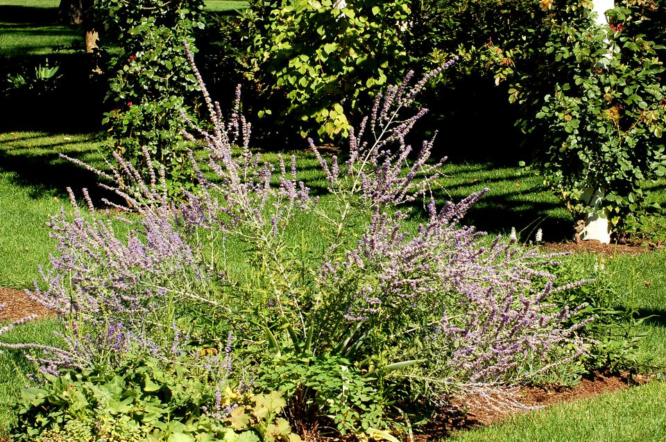 Russian sage supplies diffuse color in a planting bed