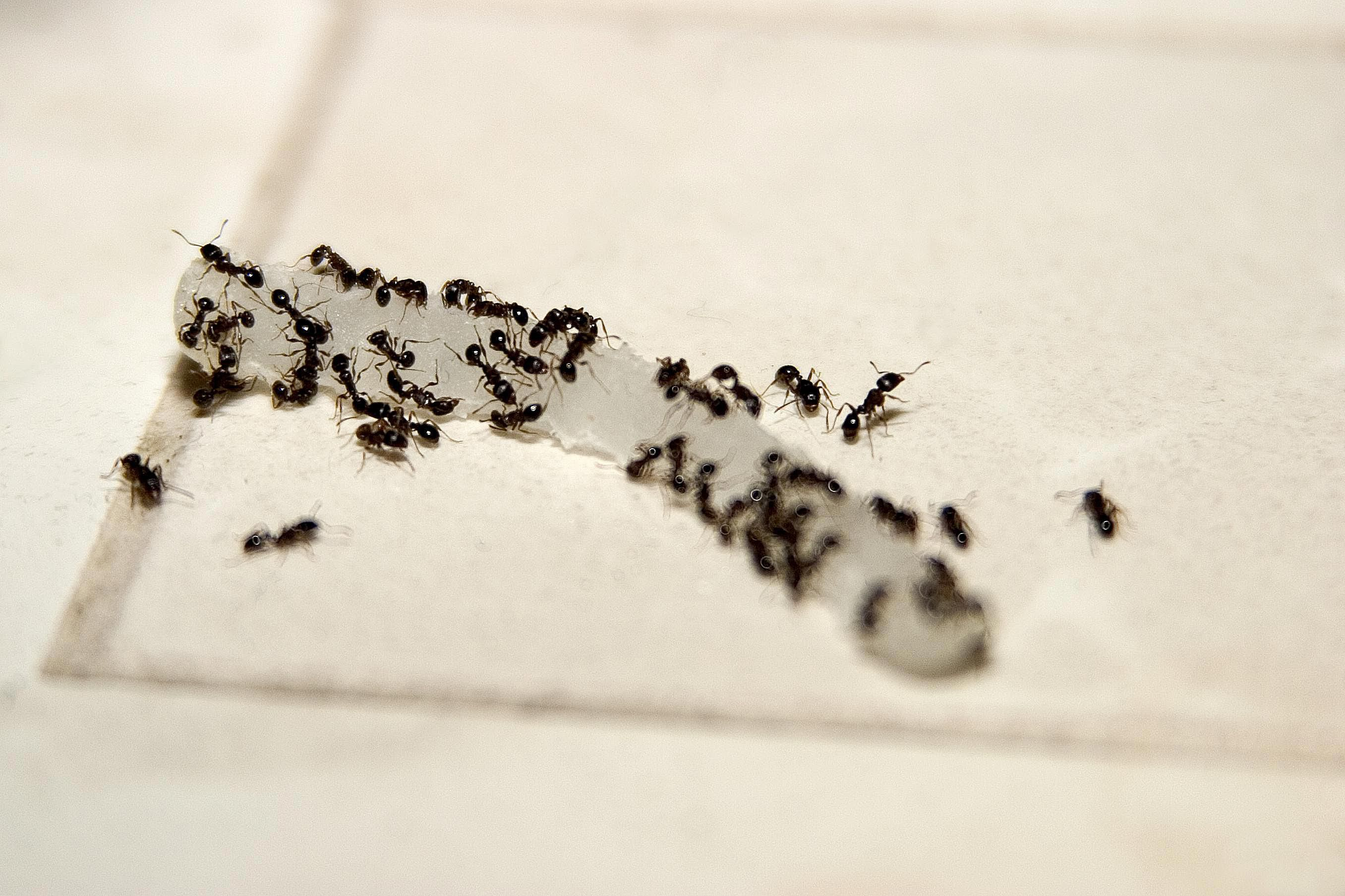 How to Get Rid of Stinky Odorous House Ants. What to Do About Flying Ants in Your Home